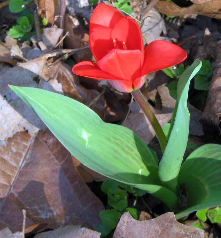 tulipán az avarban