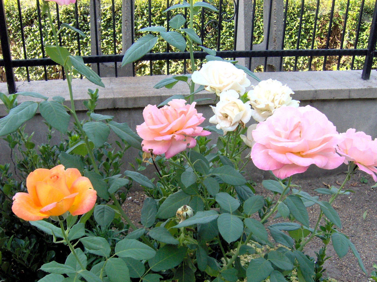 3 színű rózsám  egy  tőből