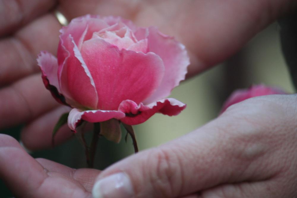 rózsa 023.